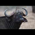 African buffalo and Yellow-billed oxpecker